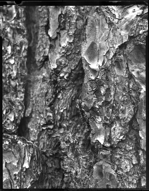 Close up of Pine Bark Arista EDU Ultra 100 and Rodinal 1:50
